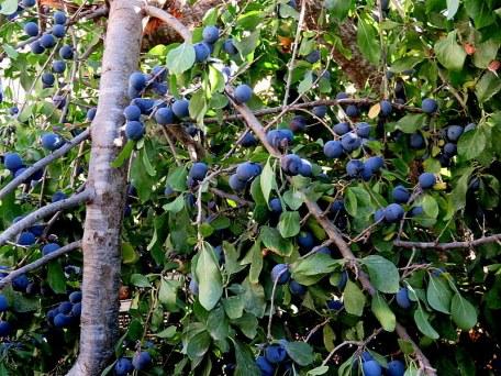 Tern_Prunus spinosa L. IMG_2056-001