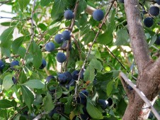 Tern_Prunus spinosa L. IMG_2057 (2)