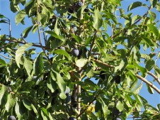 Tern_Prunus spinosa L. IMG_2062 (2)