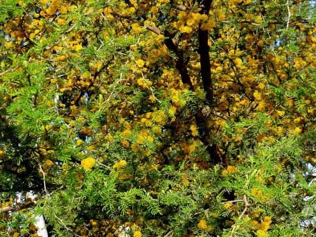 Vachellia (Acacia) caven IMG_2627-001