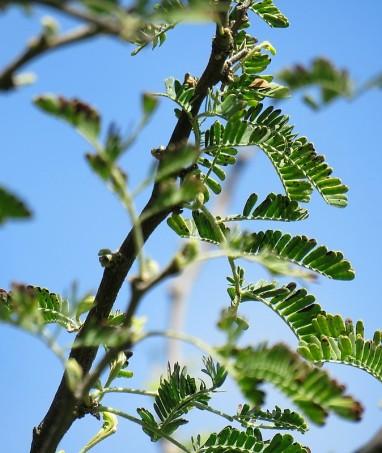 Vachellia (Acacia) nilotica IMG_9730-001 (2)