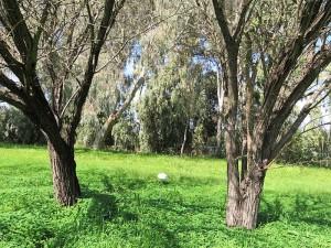 Vachellia (Acacia) nilotica IMG_9731 (2)