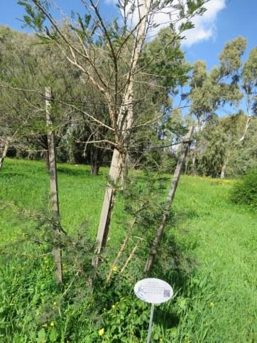 Vachellia (Acacia) sieberiana IMG_9713