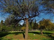 Vachellia (Acacia) erioloba IMG_2636 (3)