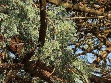 Vachellia (Acacia) erioloba IMG_2637-002 (2)-a