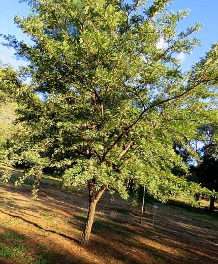 Acacia elatior IMG_5599-001
