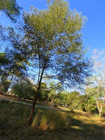 Acacia mearnsii IMG_5362-001