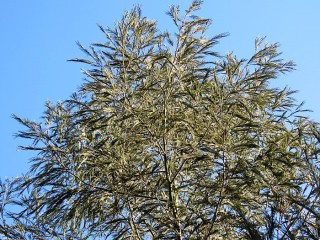 Acacia mearnsii IMG_5363 (2)