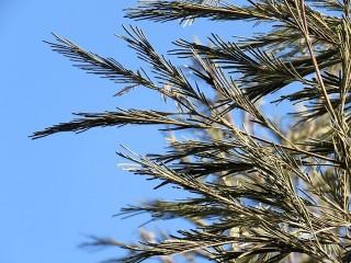 Acacia mearnsii IMG_5364 (2)