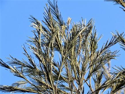 Acacia mearnsii IMG_5365 (2)