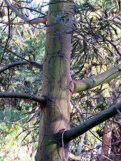Acacia mearnsii IMG_5366 (2)