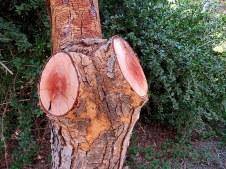 Acacia xanthophloea (Vachellia) IMG_5464-001