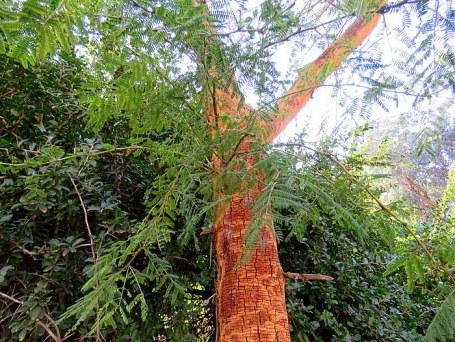 Acacia xanthophloea (Vachellia) IMG_5465-001