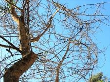 Acacia xanthophloea (Vachellia) IMG_5467 (2)