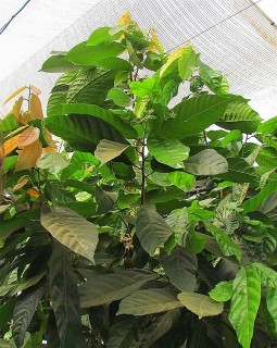 Cacao_Theobroma IMG_2951-001 (2)