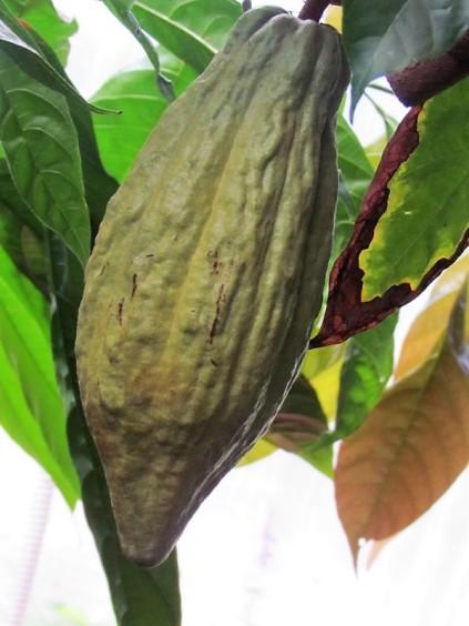 Cacao_Theobroma IMG_2962 (2)