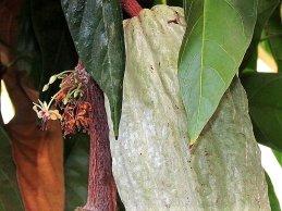 Cacao_Theobroma IMG_2972-001 (2)-a