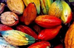 Cacao_Theobroma IMG_2996-A (2)