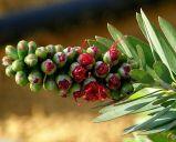 Callistemon viminalis 'Little John'_P3010139-002