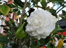 Camellia_IMG_8624 (2)
