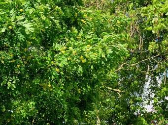 Caragana arborescens IMG_5989-002 (2)