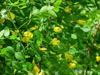 Caragana arborescens IMG_5991-001