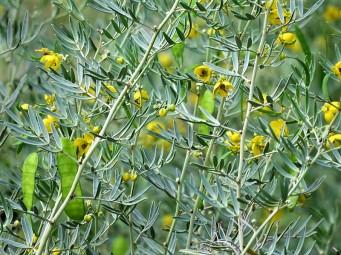 Cassia sturtii IMG_3867 (2)