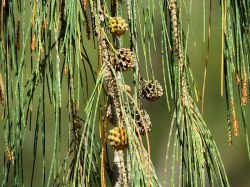Casuarina equisetifolia_IMG_3164-001