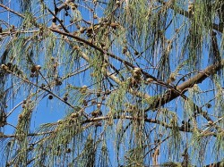 Casuarina equisetifolia_IMG_3241 (2)