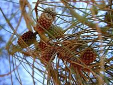 Casuarina equisetifolia_P7180382_a (2)