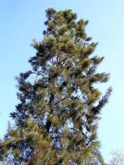Casuarina equisetifolia_PB28021_a (2)