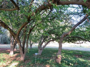 Celtis occidentalis IMG_5576 (2)