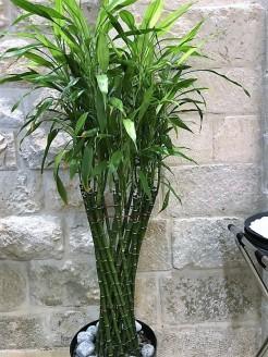 Dracaena braunii_Lucky Bamboo_IMG_2617 (2)
