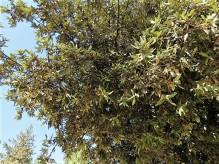 Dub_Quercus ilex IMG_3266 (2)