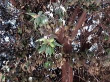 Dub_Quercus ilex IMG_3276 (2)
