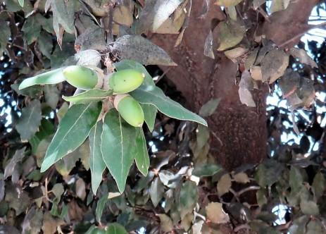 Dub_Quercus ilex IMG_3276 (3)