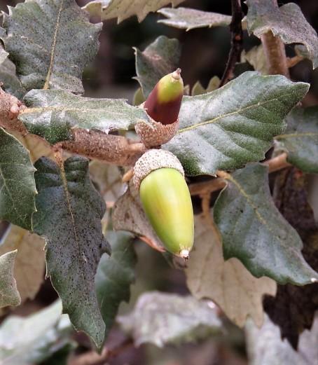 Dub_Quercus ilex IMG_3409-002 (2)