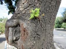 Dub_Quercus ilex IMG_3425-001