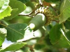 Dub_Quercus IMG_4445 (2)