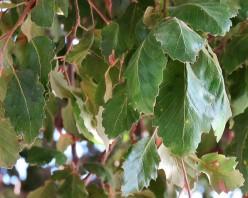 Dub_Quercus IMG_4446 (2)