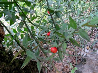 Forest_BarAm_Ruscus_IMG_5106-001