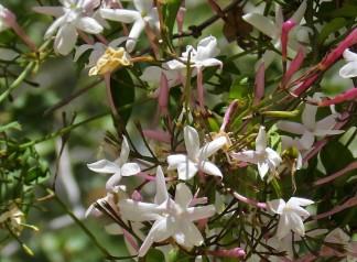 Jasmínum polyanthum IMG_8054-002 (2)