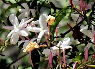Jasmínum polyanthum IMG_8054-004 (2)