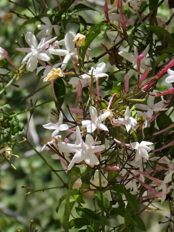 Jasmínum polyanthum IMG_8054 (2)