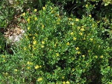 Jasminum fruticans IMG_2673 (2)