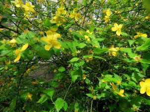 Kerria japonica IMG_3817-002