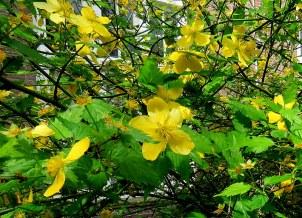 Kerria japonica IMG_3817-003