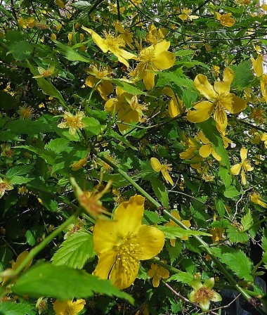Kerria japonica IMG_3818 (3)