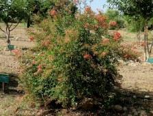 Lawsonia inermis_Hna_IMG_9380-002