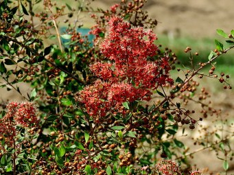 Lawsonia inermis_Hna_IMG_9381-001